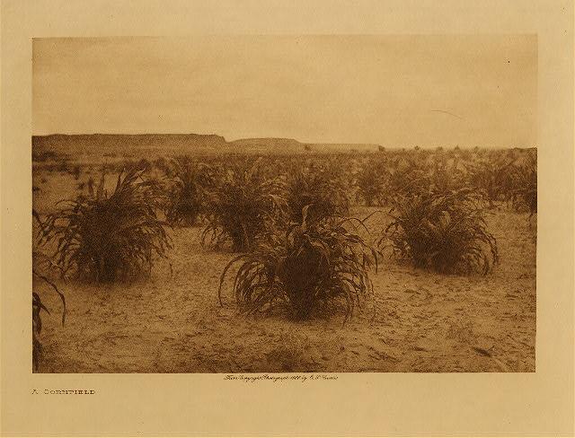 Curtis a cornfield (Hopi)